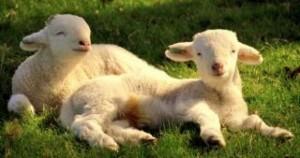 lambs---lambs_19-122647